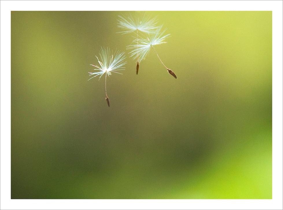 dandelions-rosanne-haaland